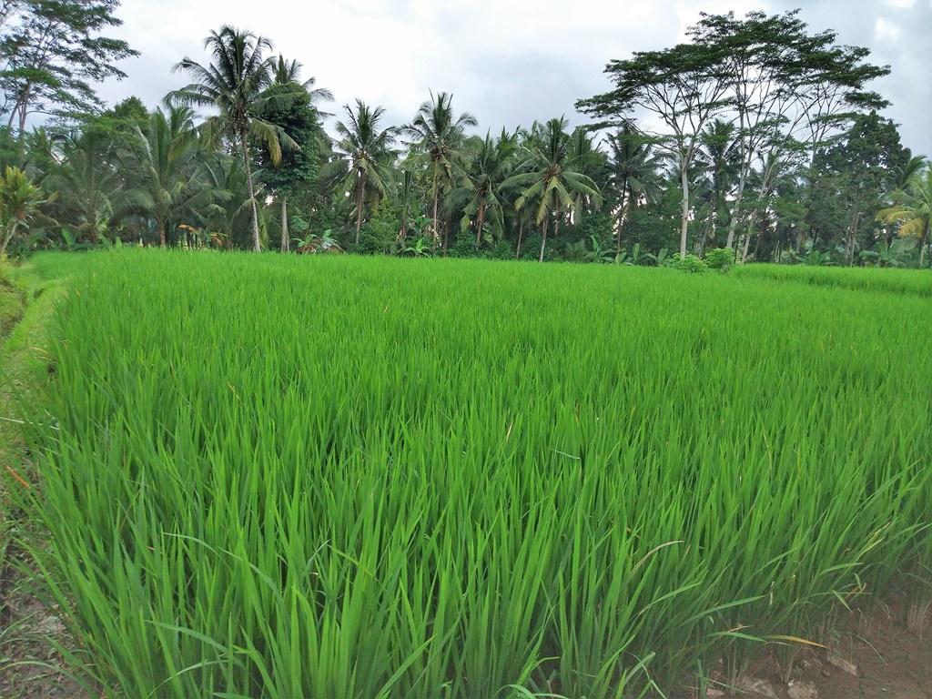 фото выращивание риса в испании уфе