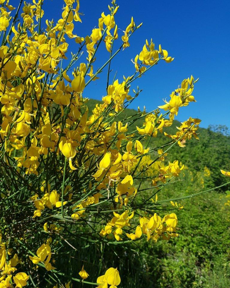 желтые цветы в Черногории