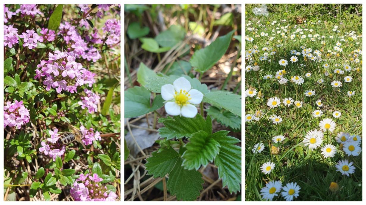 горные цветы в Черногории