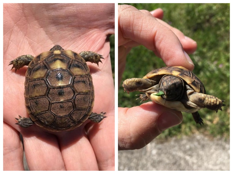 черепаха в Черногории