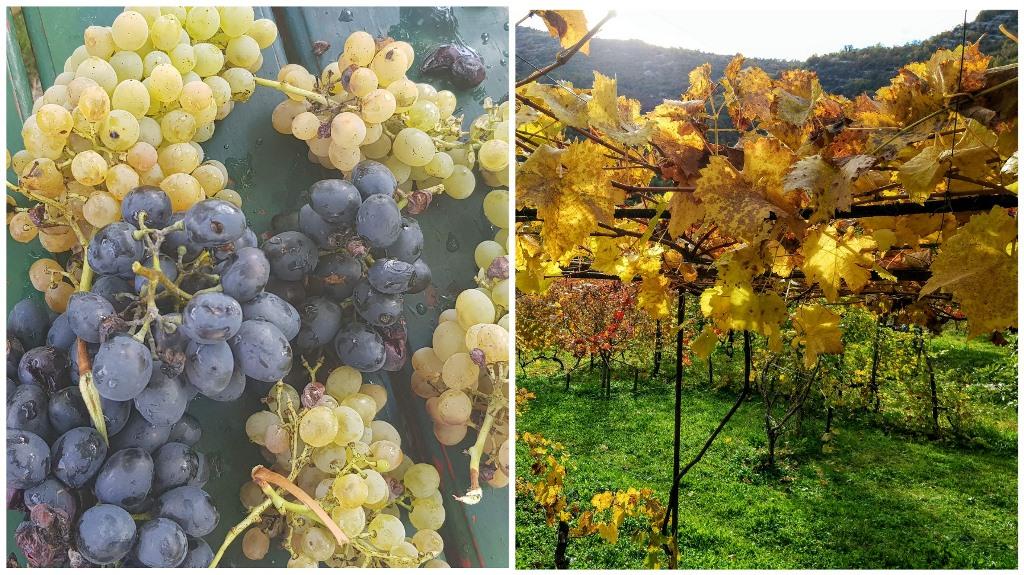 виноград в Черногории