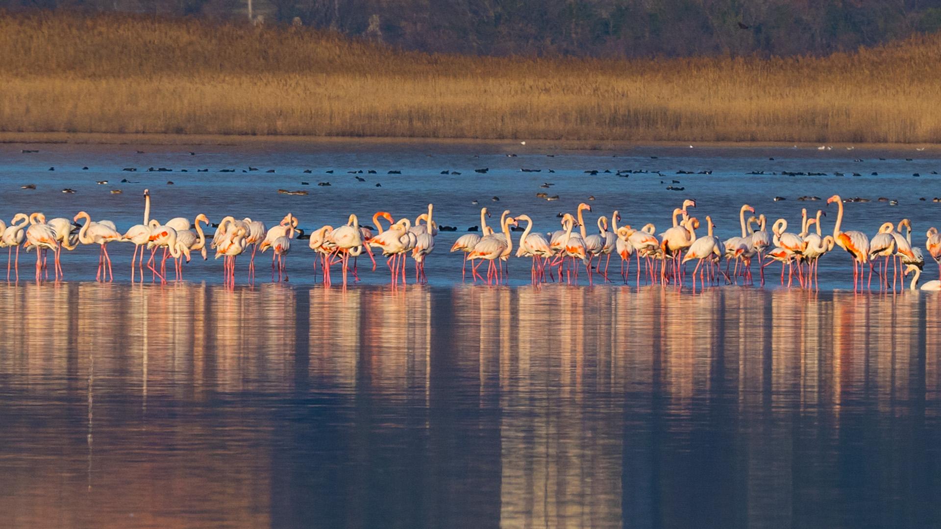 розовые фламинго в черногории