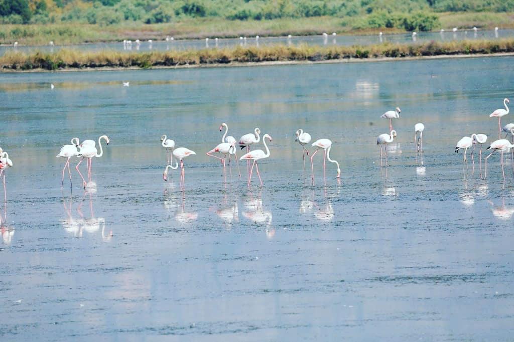 фламинго Ульцинь
