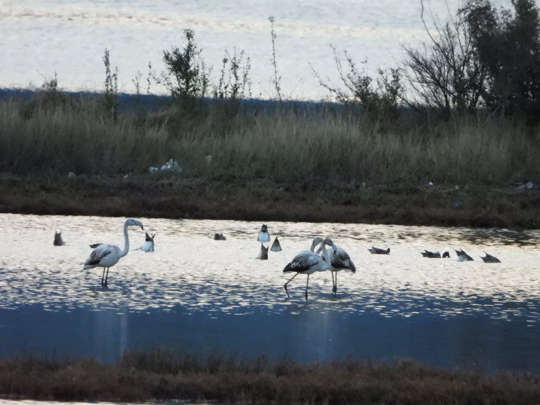 фламинго в Черногории