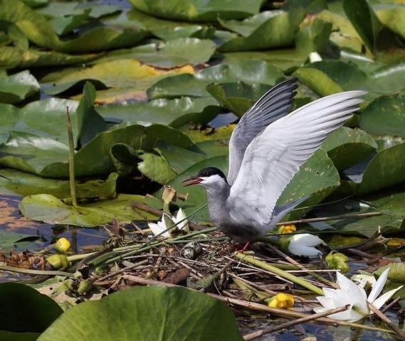 Скадарское озеро птицы