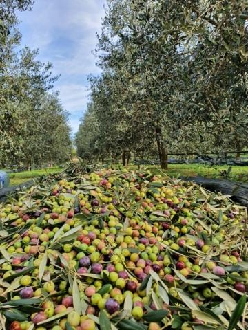оливки в Черногории