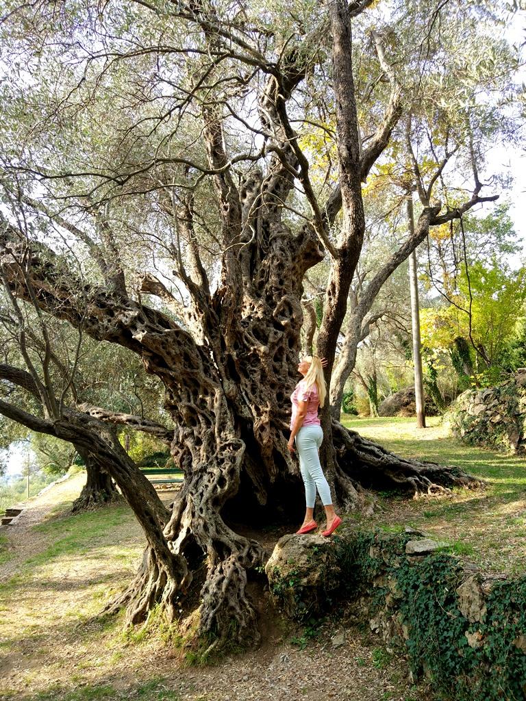 старая маслина в Бечичи