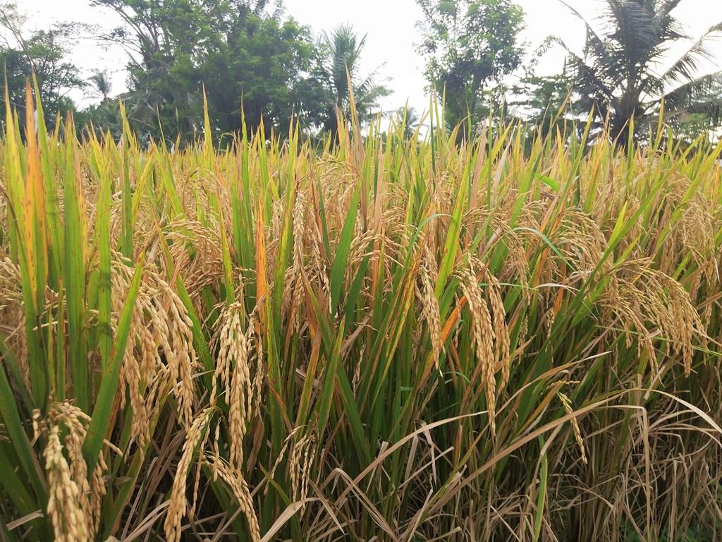 бали как выращивают рис