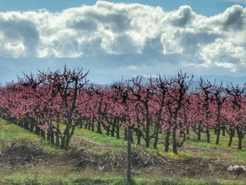 персики в Черногории