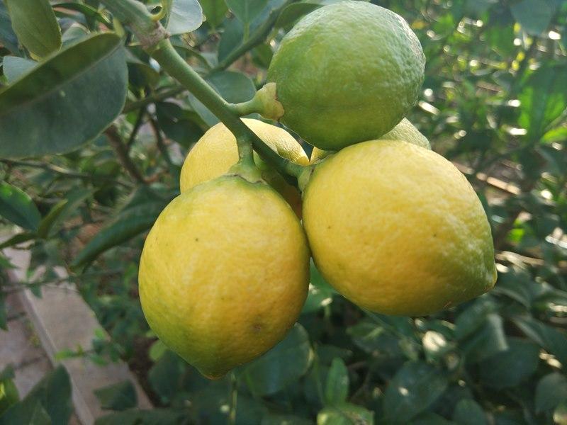лимоны в Черногории