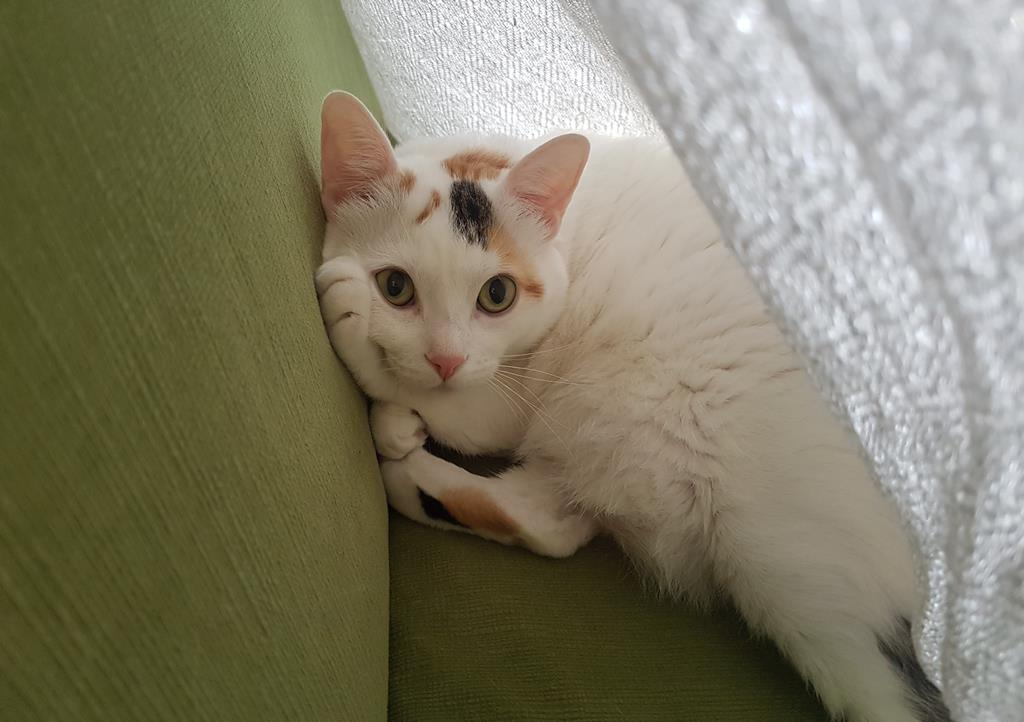 черногорская кошка
