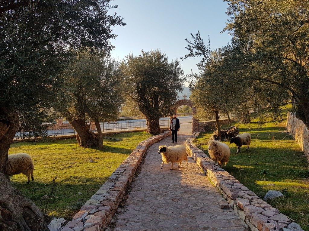 бараны в Черногории
