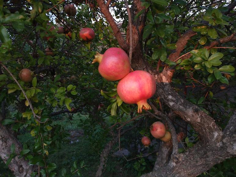 фрукты в Черногории
