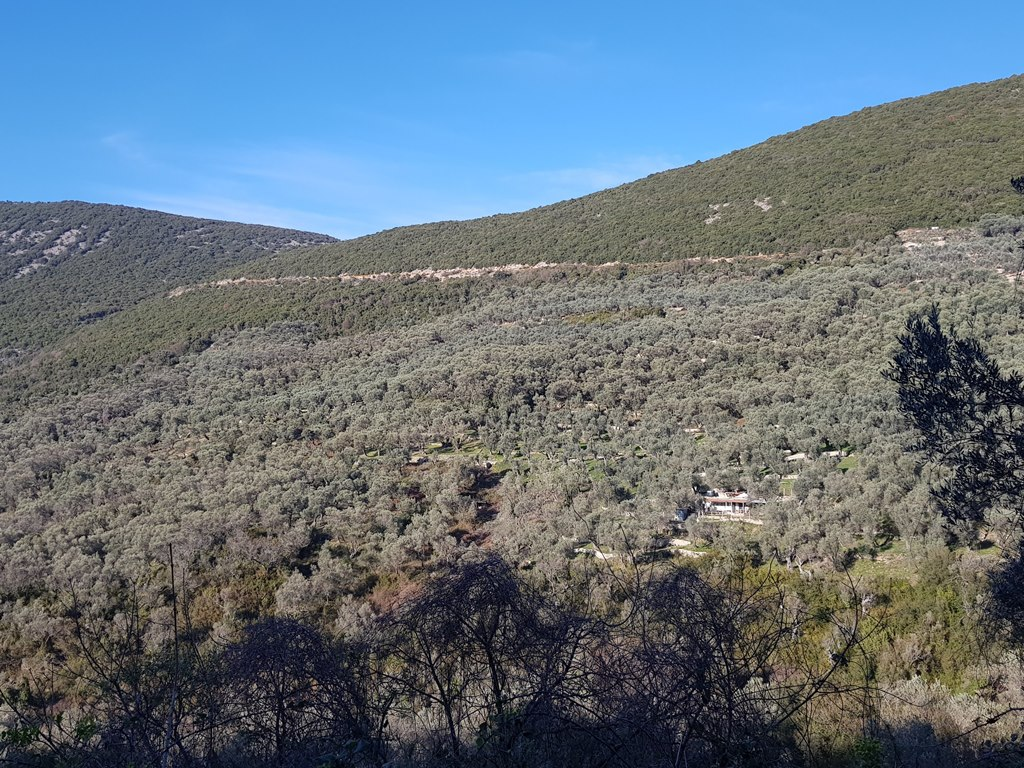 оливковые рощи в Черногории