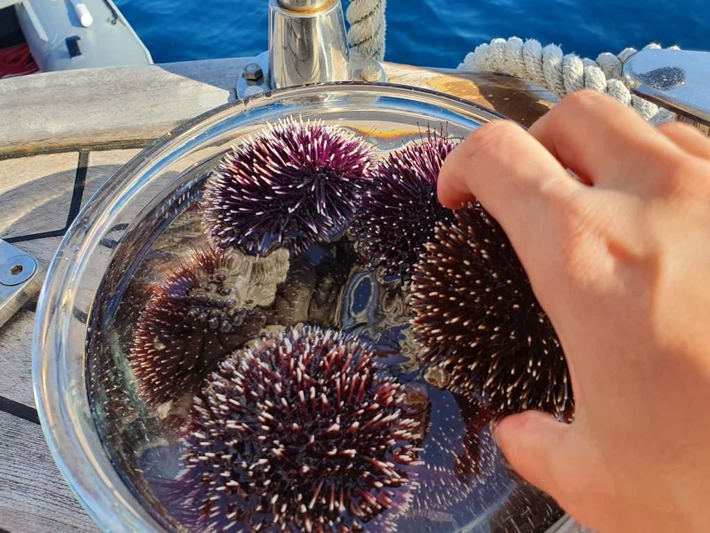 морские ежи в черногории